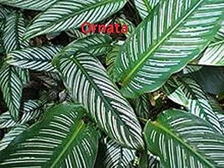 CROSO Seeds PACAKGE ONLY NOT Plants: CALATHEA - ORNATA - Seed - Seed