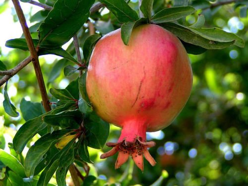 Punica granatum, 100 Arbre/Arbuste Graines (rapide, comestible, Showy)