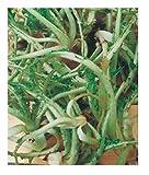 Inception Pro Infinite Semi Cardo Selvatico - cardunculus var. sylvestris - In Confezione Originale - Prodotto in Italia - C.ca