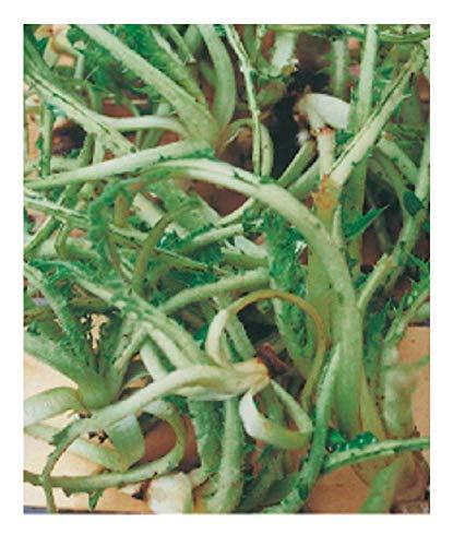 Graines de chardon sauvage - cardunculus var. sylvestris - Dans l'emballage d'origine - Fabriqué en Italie - C.ca
