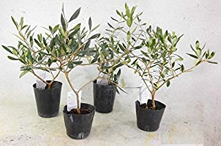 オリーブ 苗木 おまかせ 4本(3種)セット 樹高約40㎝ 3.5号ポット