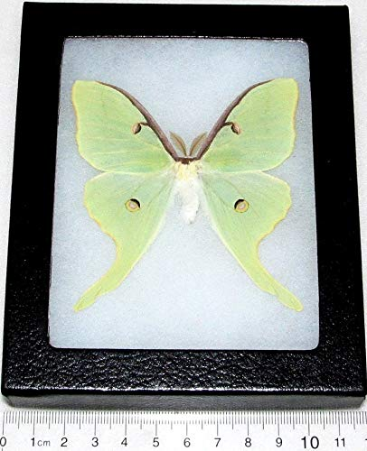 BicBugs Real Framed Luna Moth Green ACTIAS Luna USA
