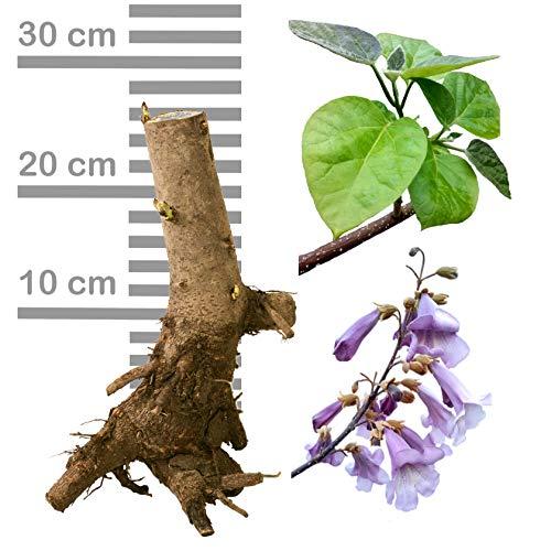 Paulownia Blauglockenbaum SHANDONG extrem schnellwüchsig, auch Kiri-Baum o. Kaiserbaum als Wertholz u. Energieholz (1 Stk, Wurzelstock zweijährig)