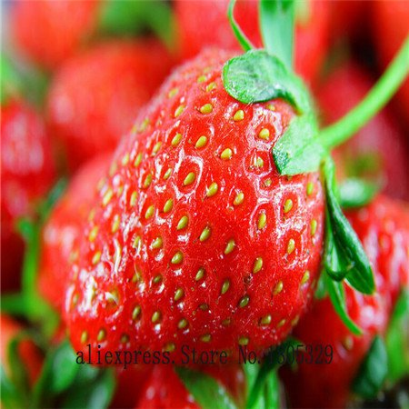 Semences de légumes Bonsai graines de fraise fraise comestible quatre saisons gros caractères big bag de goût sucré - 50 pcs