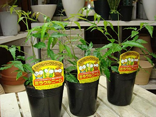 ミラクルニームの木 3.5号苗 3ポット セット販売 自分流に仕上げて下さい 害虫対策・防虫効果・虫よけ・節電対策 約200種類以上の害虫に効果があると言われる 天然植物農薬 ニーム ニームの木 エディブルフラワー(食用花) にも活用されています
