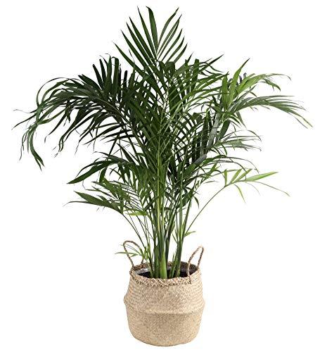 Costa Farms Cat Cataractarum Indoor Palm Tree Seagrass Basket, 3-Foot, Natural