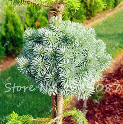 Colorado mixtes Graines de sapin Coloful Spruce Graines Picea arbre en pot Bonsai Cour Jardin Bonsai usine Pine Tree Seeds 100 Pcs 19