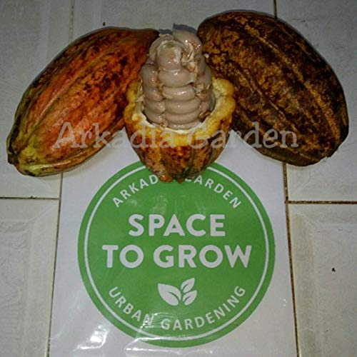 Potseed Germinazione I Semi: 20 Semi di Cacao: Heirloom Seeds | Semi Theobroma Cacao | Indonesia Chocolate Nut Tree Seed
