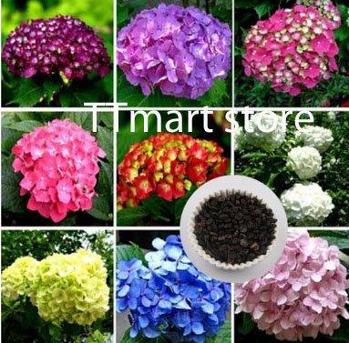 Ttmart Store Fleur Graines, Hortensia Hortensia Lot de 10 graines