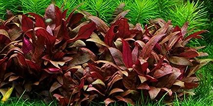 Alternanthera reineckii rosaefolia Mini - 5X Bunch - Live Aquarium Plant