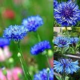 Ultrey Samenshop - Kornblume Samen'Zwerg blau Junggesellen' Blumensamen Sommerblumen Wiese Samen Mehrjährige winterhart
