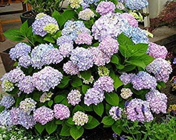 VISTARIC 100seeds / schönen Stiefmütterchen Samen Mix Farbe Wellenförmige Viola Tricolor Blumensamen Bonsai vergossen DIY Haus & Garten packen
