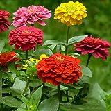 200 pezzi di semi per sacchetto Facile da curare Zone: 3-9 Belle grandi fioriture Può rendere il tuo giardino più bello