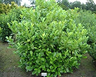 """Kirschlorbeer Pflanzen 10 Stück 20-40 cm Prunus Rotundifolia/""""Wunderschön/"""""""