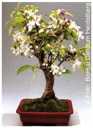 TROPICA - Pommier ornemental (Malus halliana) - 30 graines- Bonsai