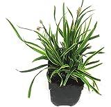 "Carex morrowii ""Ice Dance"" - Segge - robustes Gras winterhart immergrün mehrjährig -13 cm Topf"