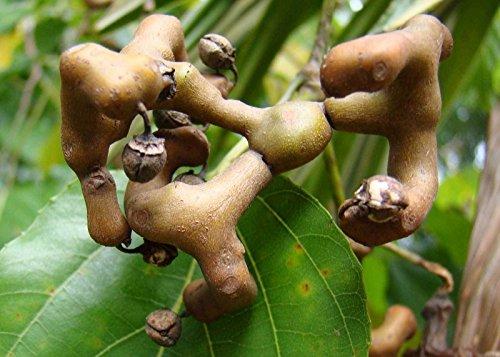 Hovenia dulcis | Árbol de la pasa japonés | 20_Seeds