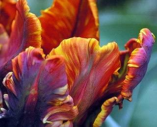 'Blumex' Parrot Tulip 10 Bulbs - EXOTIC & NEW - 12/+ cm Bulbs