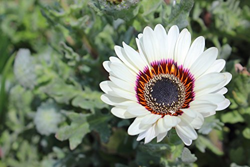 SONNENBLUME 50 Samen, WEISS ASTER, Venidium fastuosum (Daisy Cape White)