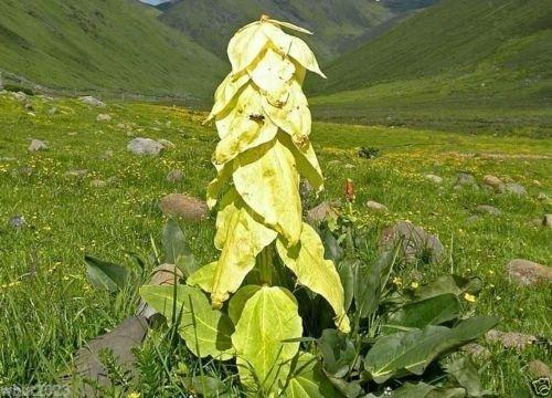 Sedum middendorfianum var. Striatum (100 graines) rampante, étalement, groundcover