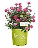 Knock Out Roses - Rosa Pink Double Knock Out (Rose) Rose, double pink flowers, #3 - Size Container
