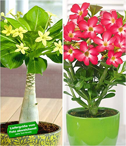 BALDUR-Garten Zimmerpflanzen-Kollektion, 2 Pflanzen Hawaii-Palme + Wüstenrose Rot