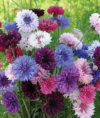 Kornblume Mischung - Polka Dot Color Mix - Centaurea cyanus - Blume - 400 Samen