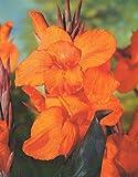 Canna Wyoming Blumenrohr Rhizom Blumenzwiebeln (1 Canna (Rhizom))
