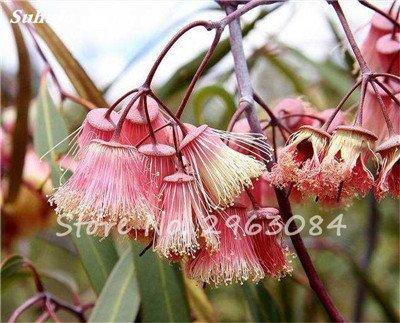 Vente! 100 pcs/sac rares Eucalyptus Graines géant Arbre tropical Graines Angiosperme pour jardin plantation en plein air Bonsai cadeau 13