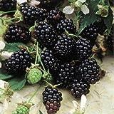 BlackBerry Plants'Sweetie-Pie' Price Includes Four (4) Plants
