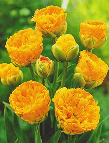Gefüllte Tulpen Double Beauty of Apeldoorn Tulpenzwiebeln (10 Blumenzwiebeln)