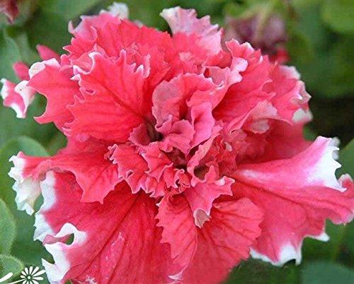 200pcs/sac Hanging Multicolor Petunia Graines Balcon Trailing Pétunia fleur en pot Bonsai plantes pour jardin Décor facile à cultiver 2