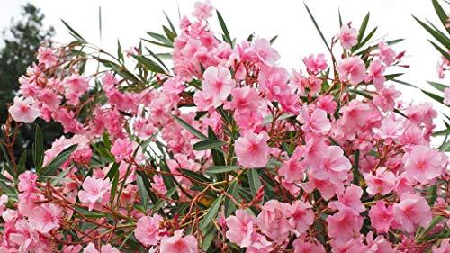 OH2 - 101.2 - Tropische Nerium Oleander Pflanzen, 8 Stück