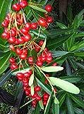 Bonsai rojas Pyracantha 50 semillas