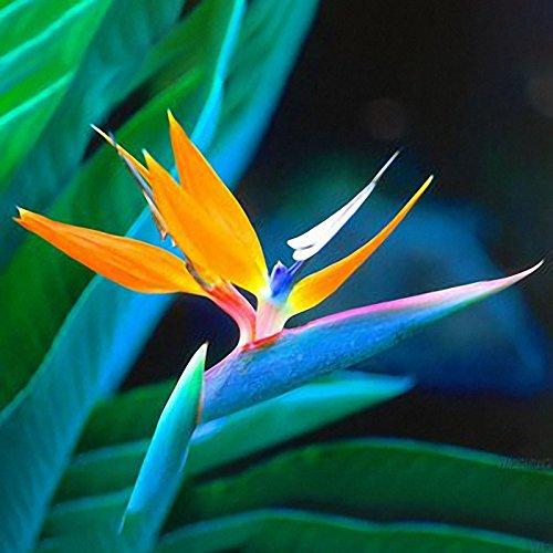 Inovey 100Pcs Strelitzia Bonsaï Graines Oiseau De Paradis Fleurs Graines Mix Couleur Forgarden Plantation