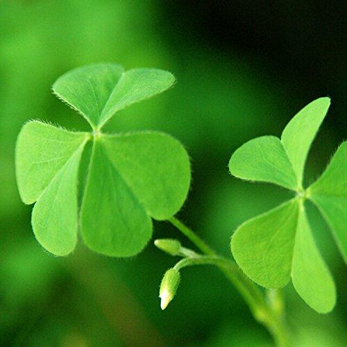 50PCS / LOT Trèfle à quatre feuilles semences Lucky Clover semences Cross Game Pot d'intérieur Plantes de semences ornementales Graines