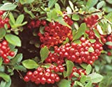 Feuerdorn 'Red Column' - Kräftige Pflanze im 5l Topf