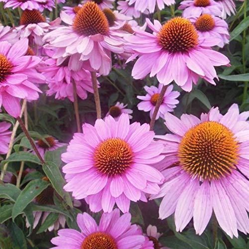 300 PCS Echinacea Coneflower Seeds Zierstauden Bonsai für Gartenhofbalkon
