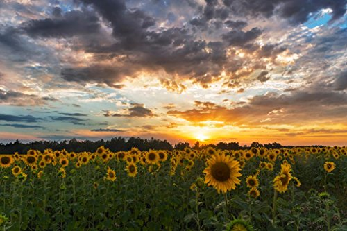 Sunflower Field Sunset Tuscany Italy Landscape Photo Photograph Cool Wall Decor Art Print Poster 36x24