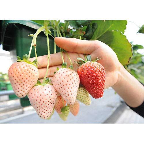 Portal Cool 500pcs blanca Pineberry Semillas Flores Frutas Bonsai Pot Inicio Plantas de la decoración del jardín