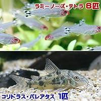 (熱帯魚)ラミーノーズ・テトラ(ブリード)(6匹) + コリドラス・パレアタス(1匹) 北海道・九州航空便要保温
