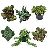 Pasiora Crassula- Mix im 6cm Topf, verschiedene kleine Pflanzen, Geschenkset (6 Stück)