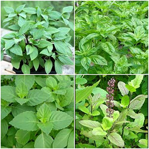 3 HOLY Basil Pflanzen ~ TULSI Sacred Basil Well Rooted LIVE-Pflanzen 7 bis 10 Zoll