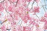 東宝 タペストリー (横幅200cm×縦幅150cm) さくら 桜 満開 植物 河口湖 春 風景 景色 おしゃれ 布ポスター 落ち着く プレゼント サプライズ クラシック 背景 気分 インテリア 壁掛け 壁飾り 暖簾 ホリデーパーティー 雰囲気転換 ……