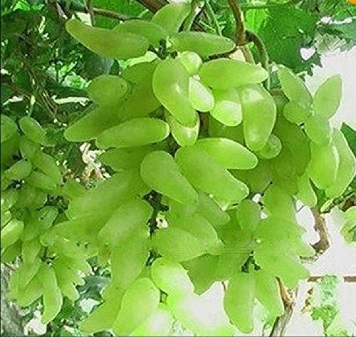 GETSO AAA Freies Verschiffen, Alter Hof Pflanzen, Köstliches Fruchtsamen, Goldfinger