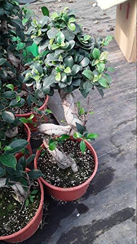 BasqueStore - Bonsai Tree - Golden Gate Ficus - Ficus microcarpa 'Golden Gate' - 2 Feet Tall - Live Home and Garden