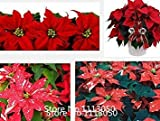 VISTARIC Promotion 300 PC/Beutel, Poinsettia Samen, DIY Topfpflanzen, Indoor/Outdoor-Topf Blumensamen Keimrate von 95% gemischt co