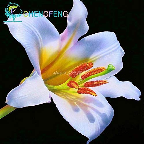 Green Seeds Co. 50 Pcs/Sac Plantes En Pot Lily plantes rares Plantes D'Intérieur Bonsaï Diy plante Semillas Mixed Colors emballage 2016: Violet