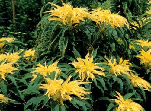 Amaranthus Samen, Josephs Mantel, Laub Pflanzensamen, Blickfang Blätter, 75ct