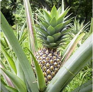 Pineapple Live Plant 'White Jade' Ananas comosus Edible fruit